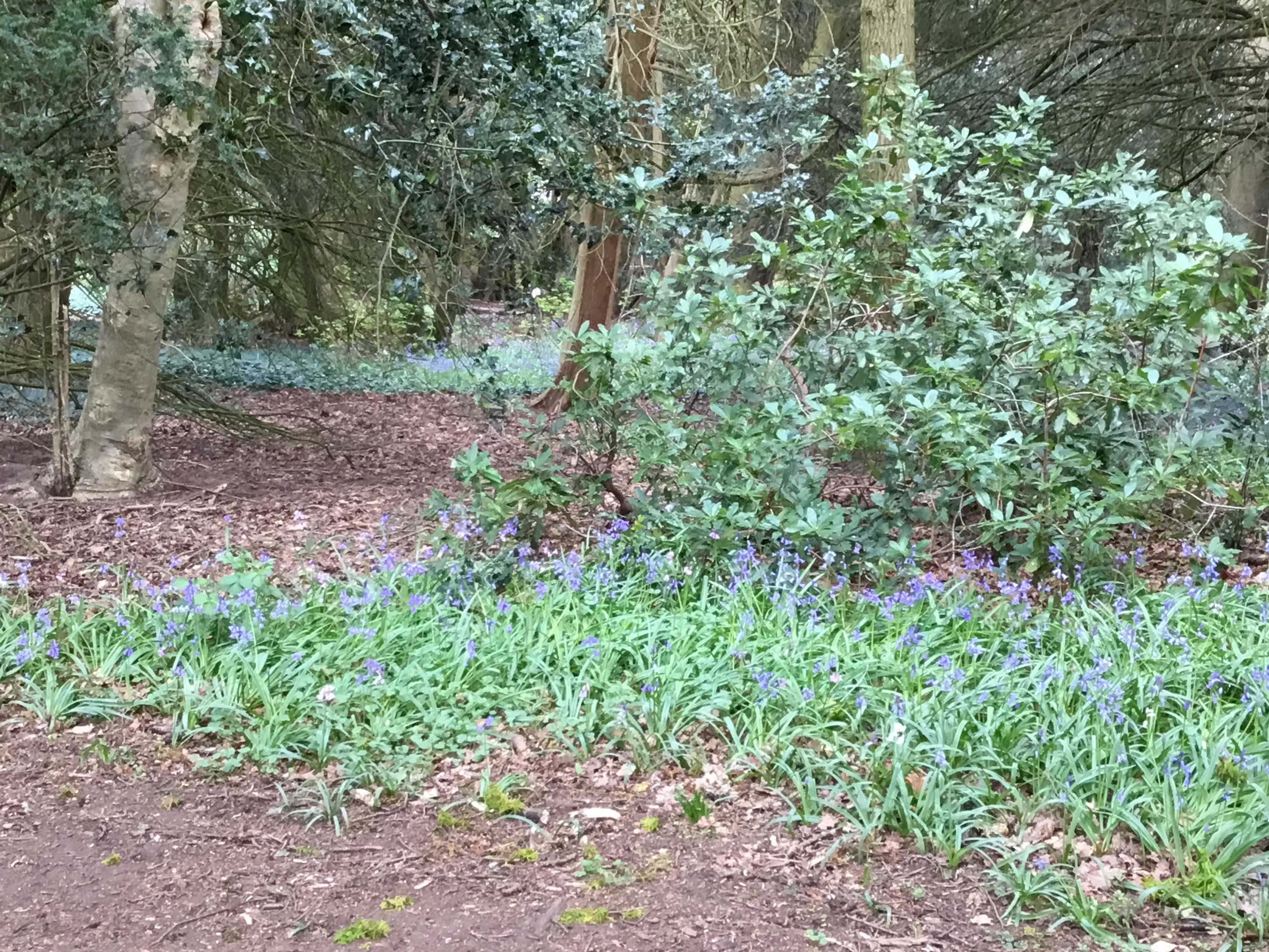 Bluebells at Caldeote
