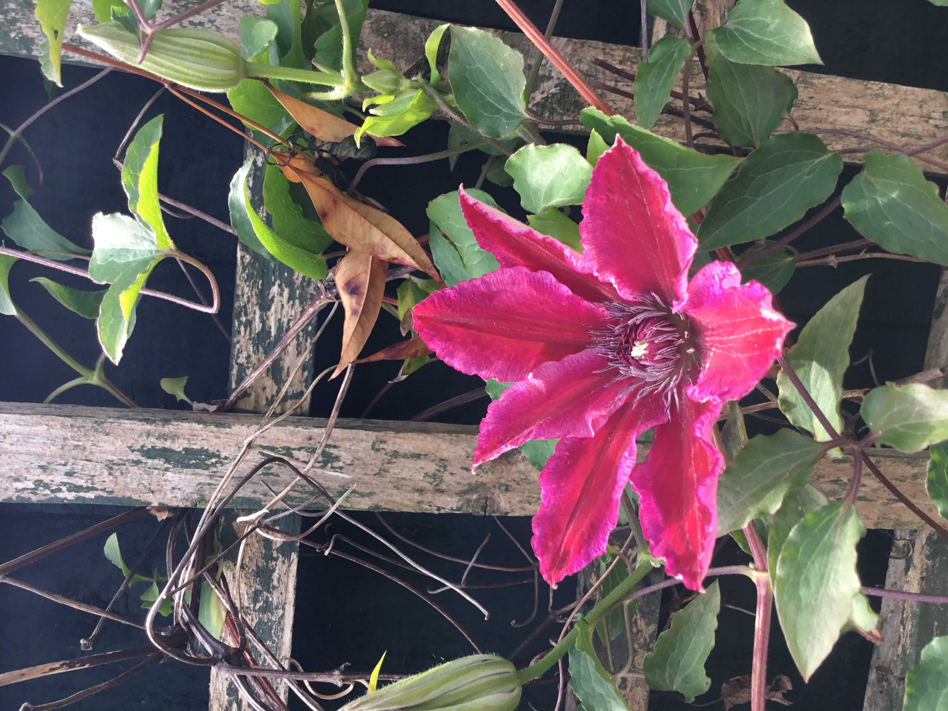 Ruby red Clematis, known as Ruby Wedding