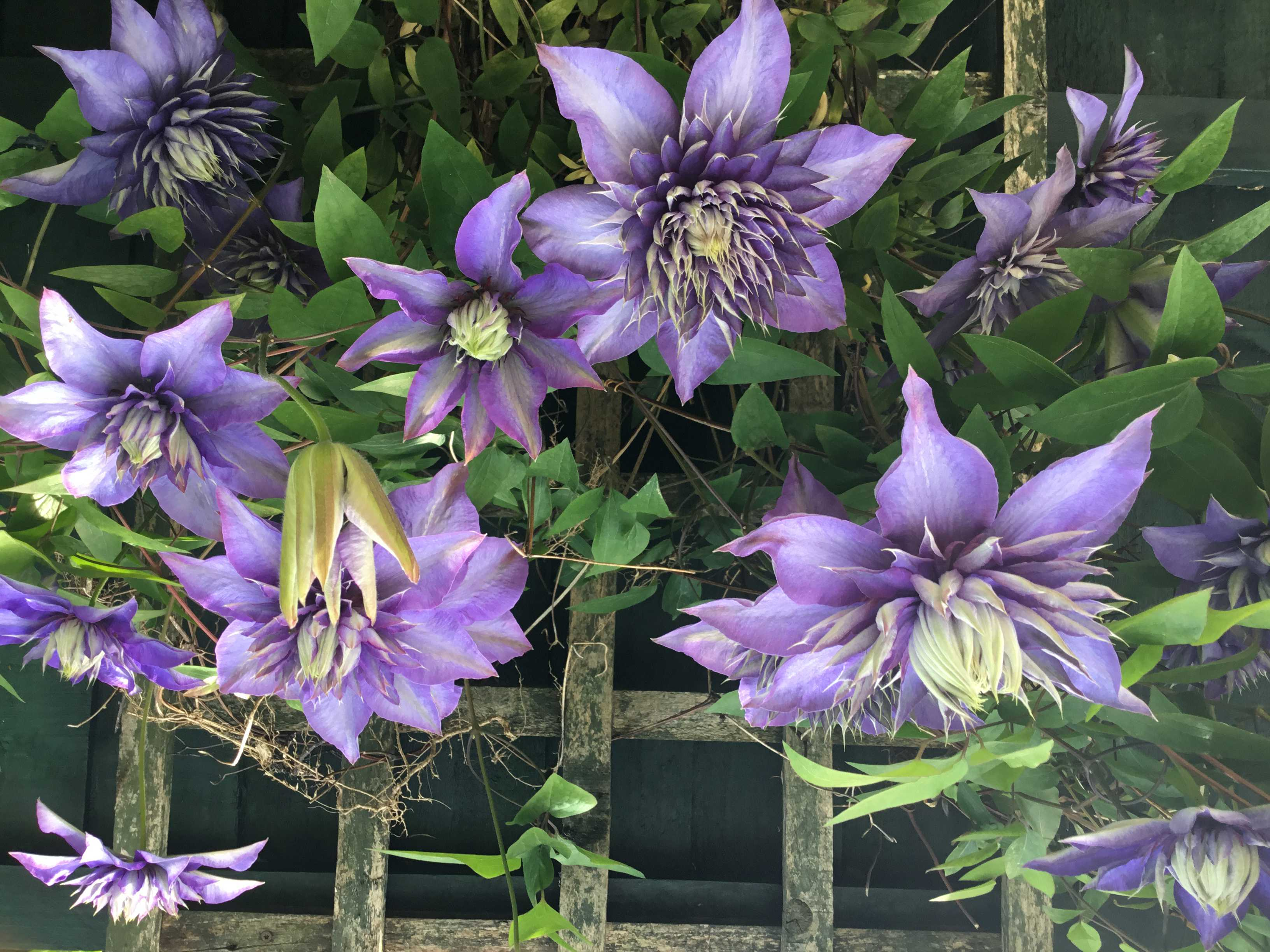 Purple Clematis, possibly known as Diamantina