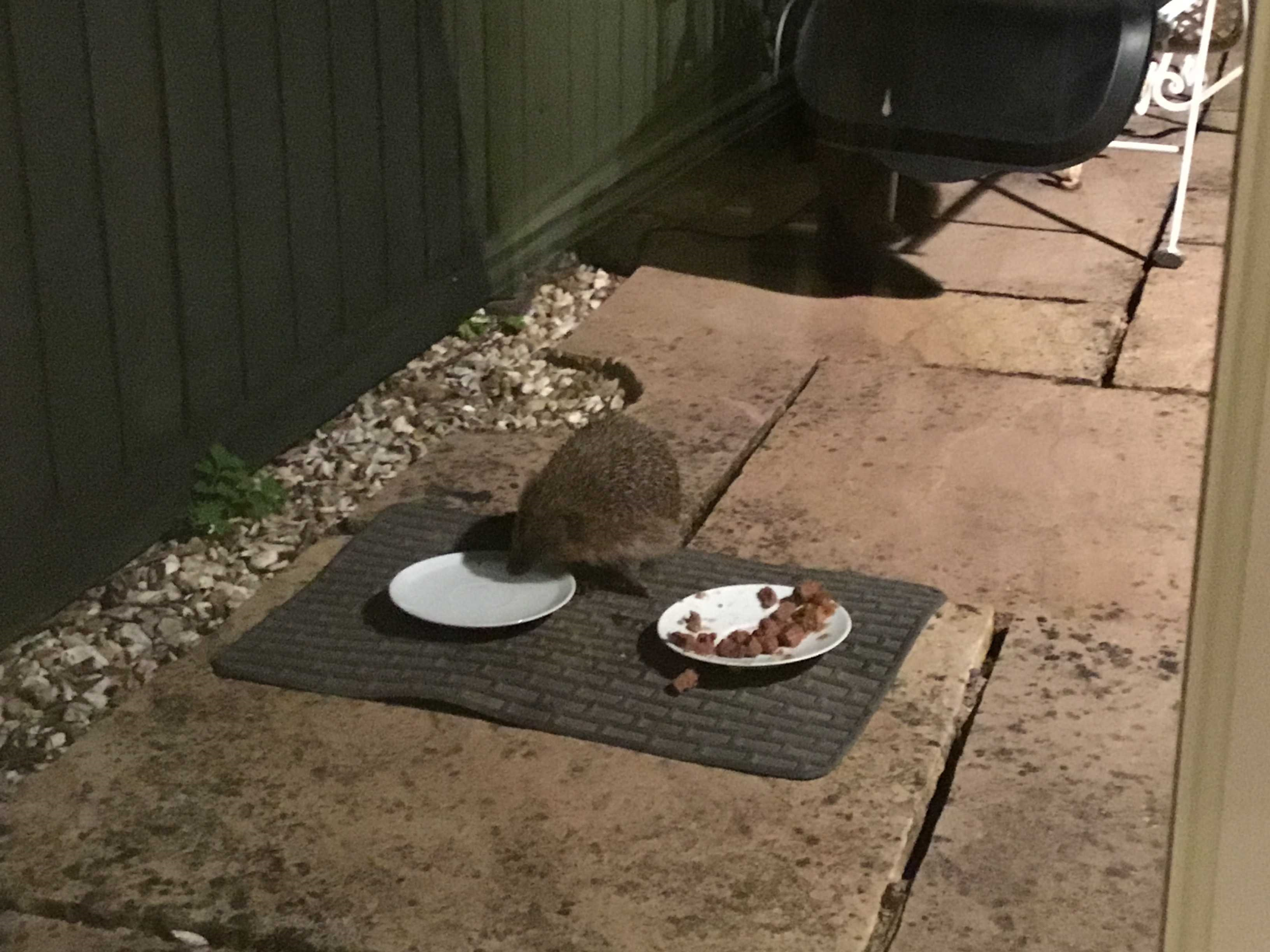 Picture of hedgehog feeding in garden from a plate of chocolates