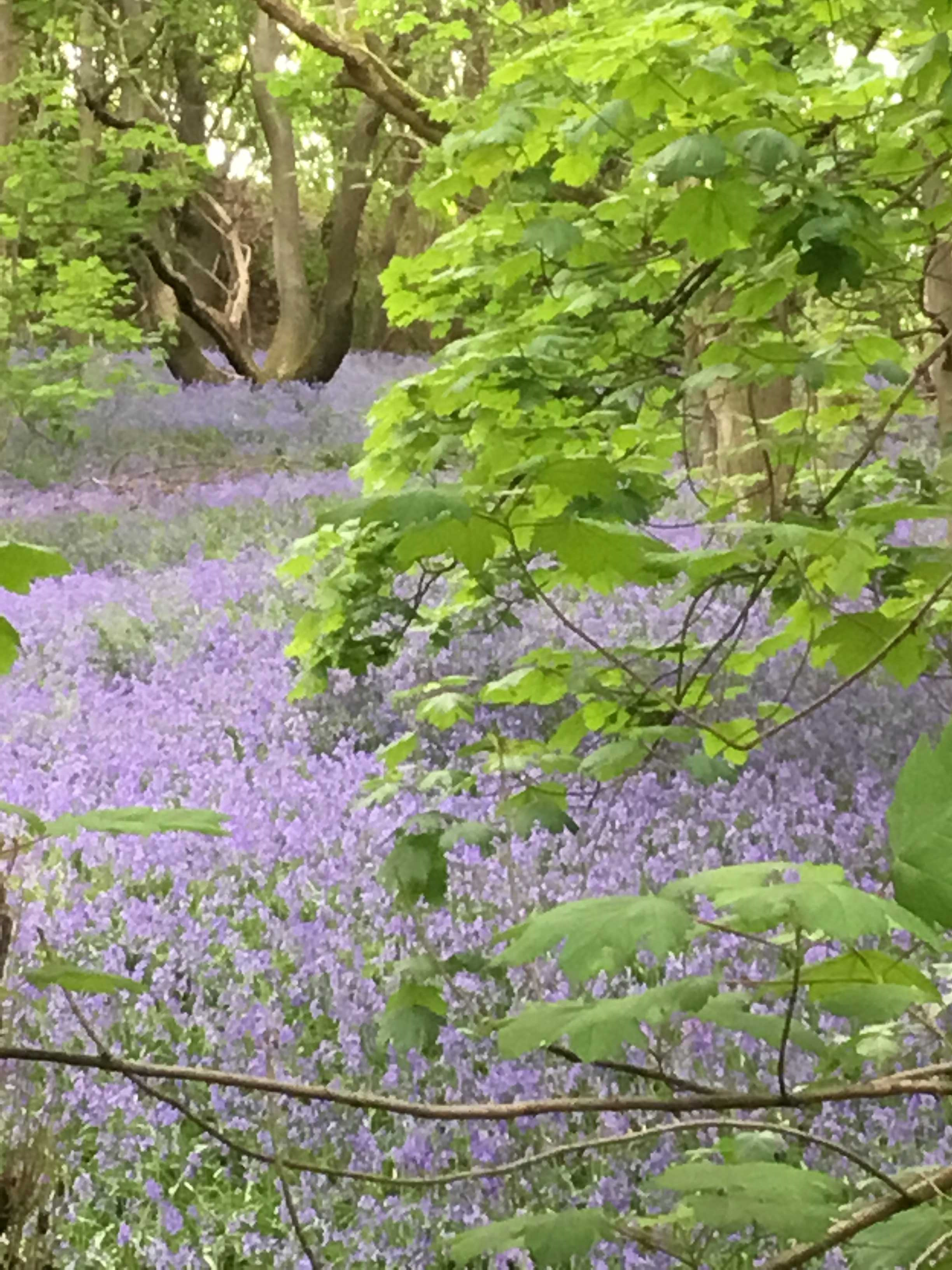 Bluebells at Hartshill Hayes