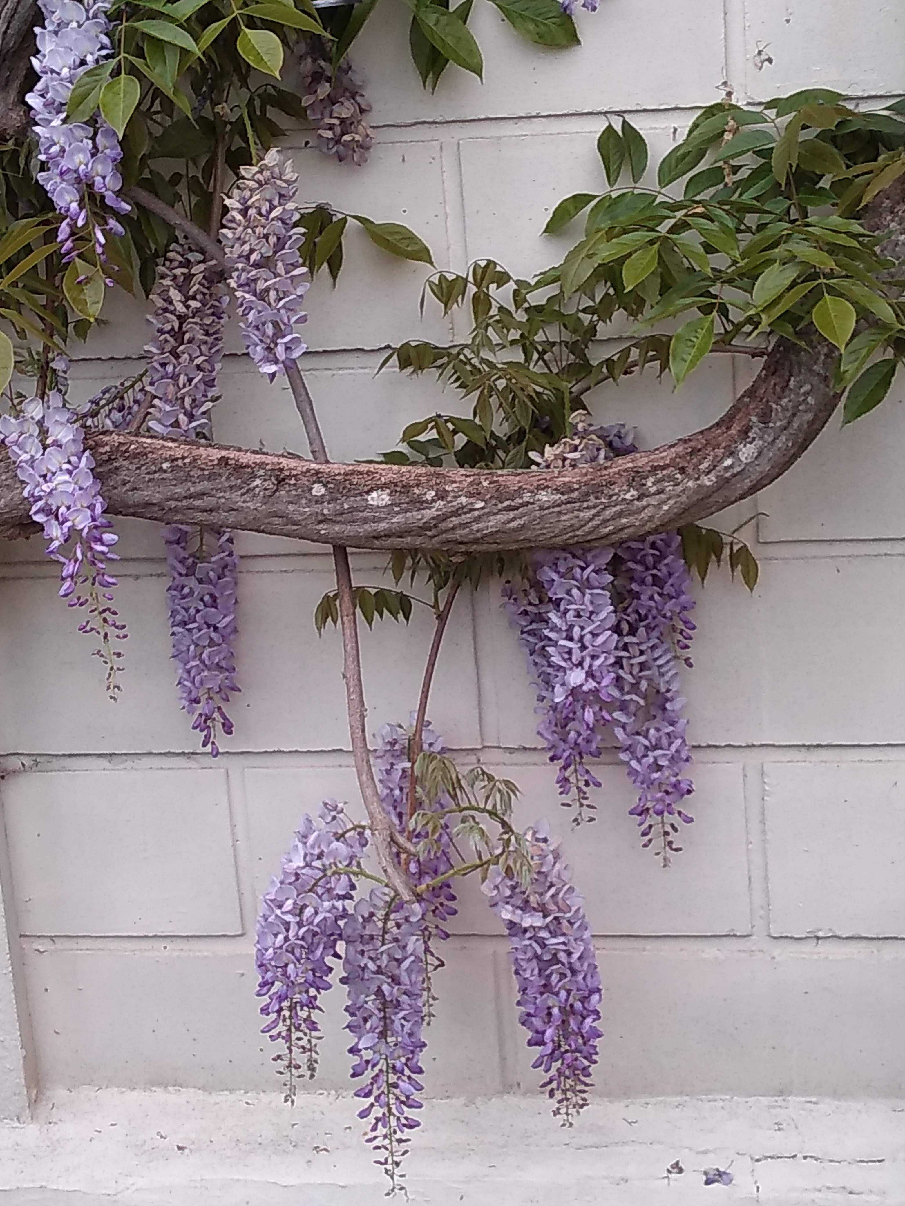 Flowering Wisteria covering part of wall