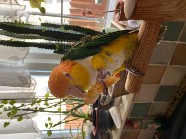 Parrot eating breakfast