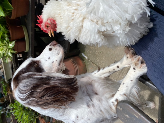 Dog and Hen in face off